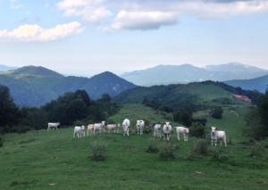 Vacas vigilantes en Vallespir.